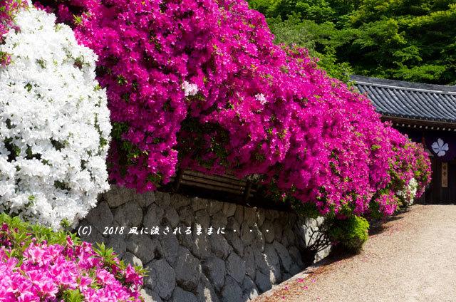 奈良・船宿寺 ツツジが咲き誇る庭園10