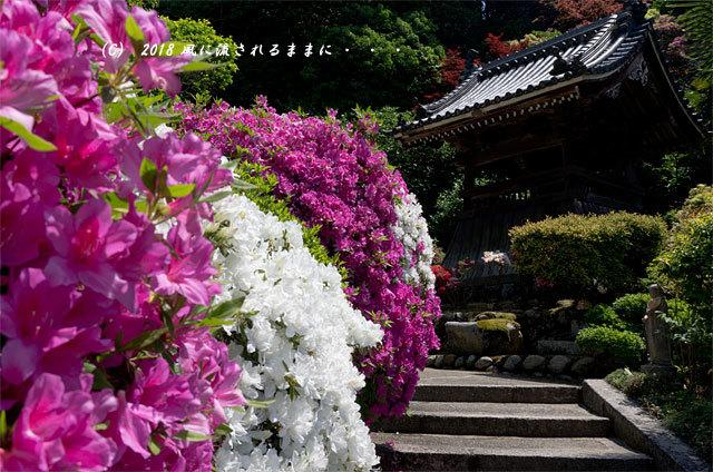 奈良・船宿寺 ツツジが咲き誇る庭園6