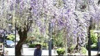 4721-340フジの花