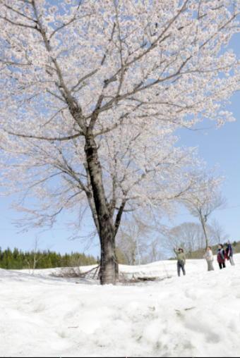 4901-340雪と桜