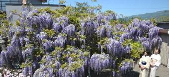 4871-340フジの花