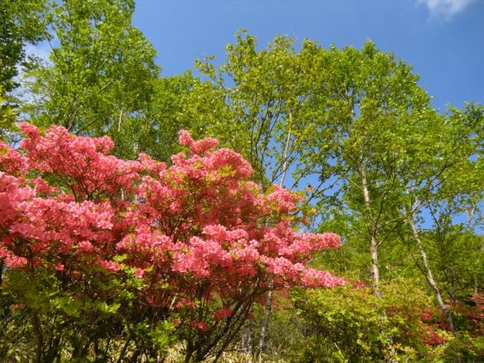 ヤマツツジと白樺と青空
