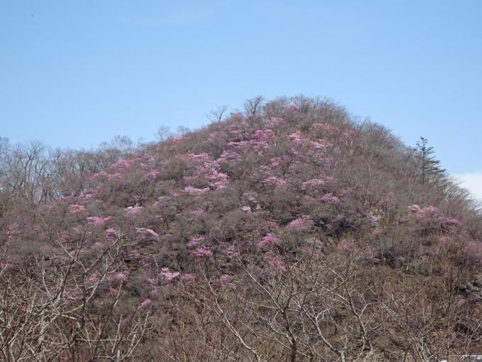 篭山のアカヤシオ4