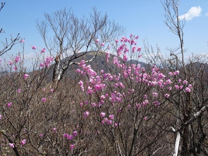 アカヤシオと地蔵岳