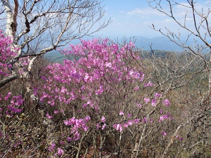 荒山山頂部のアカヤシオ1