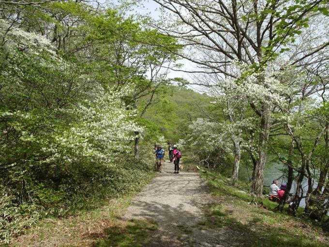 シロヤシオの道