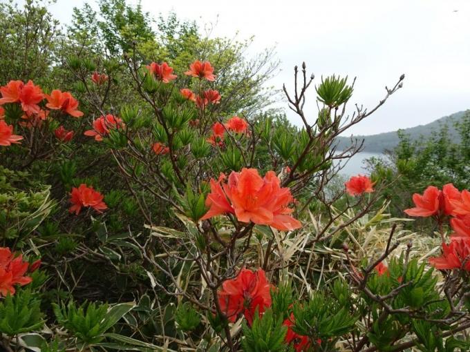 咲き始めのレンゲツツジ