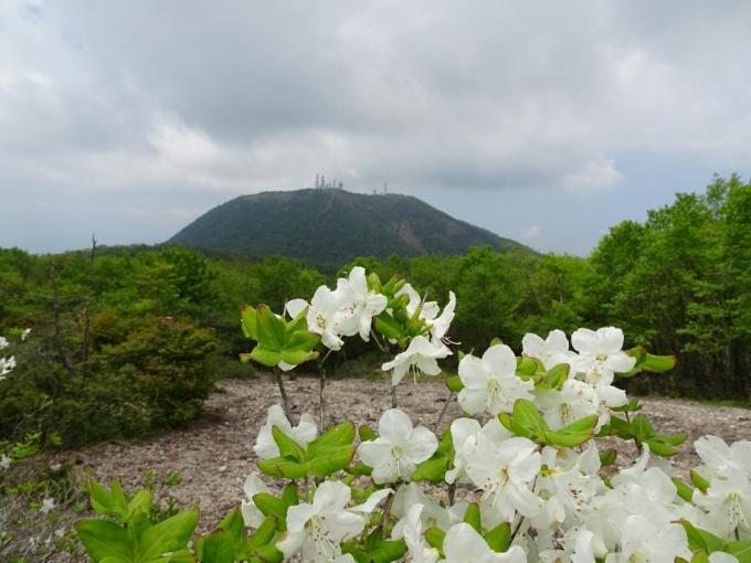 シロヤシオと地蔵岳