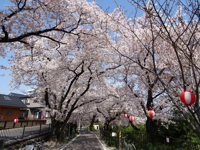 石倉桜並木1