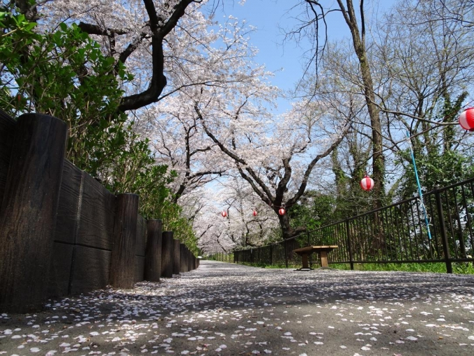 石倉桜並木3