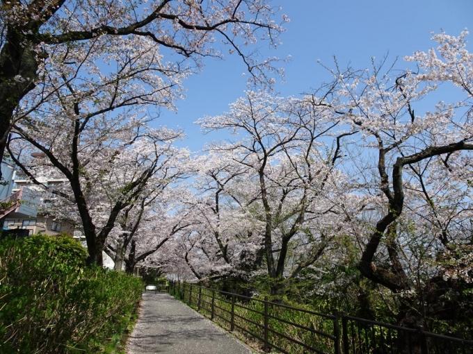 石倉桜並木4