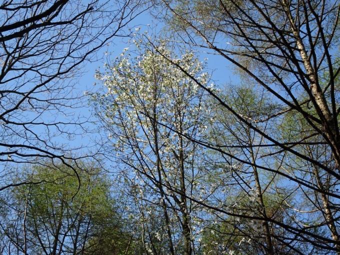 落葉松の新緑とコブシ