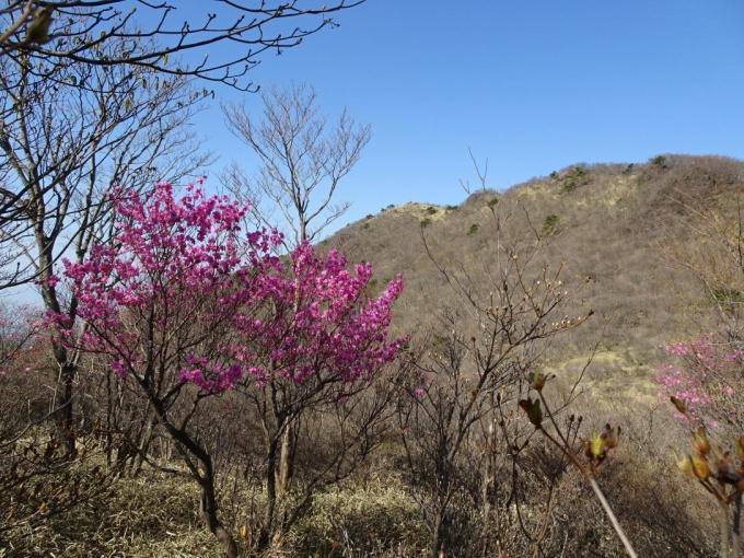 荒山高原のアカヤシオ