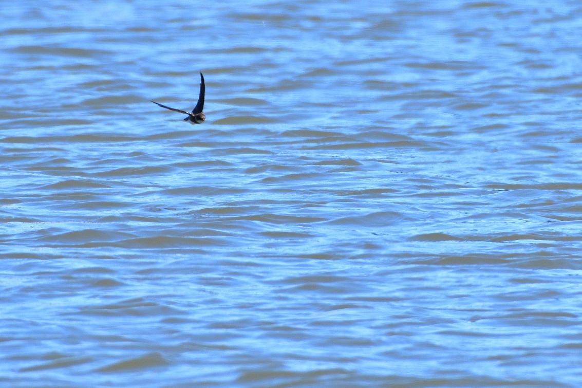 ショウドウツバメ水喰2