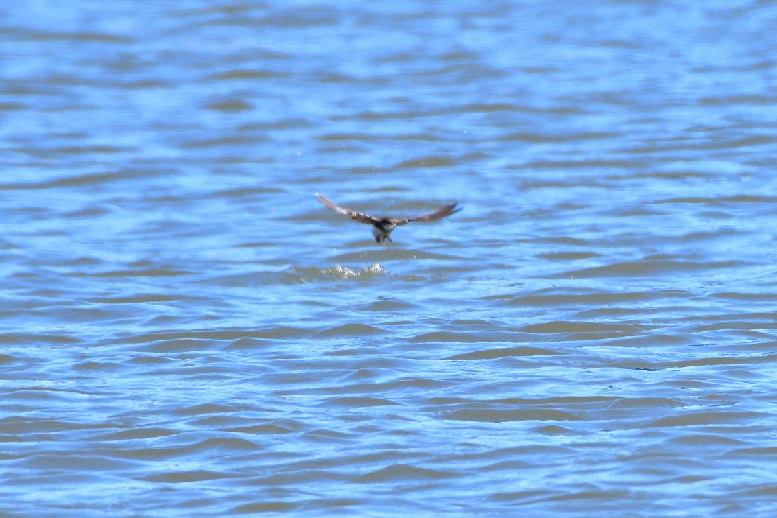 ショウドウツバメ水喰7