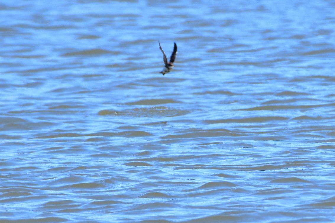 ショウドウツバメ水喰8