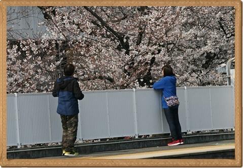 桜 ブログ用5