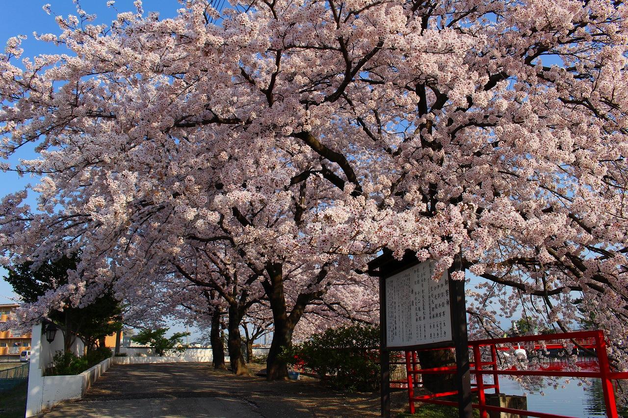 白龍神社 桜 (3)