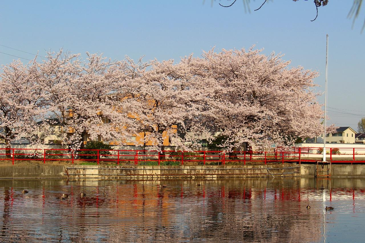 白龍神社 桜 (2)