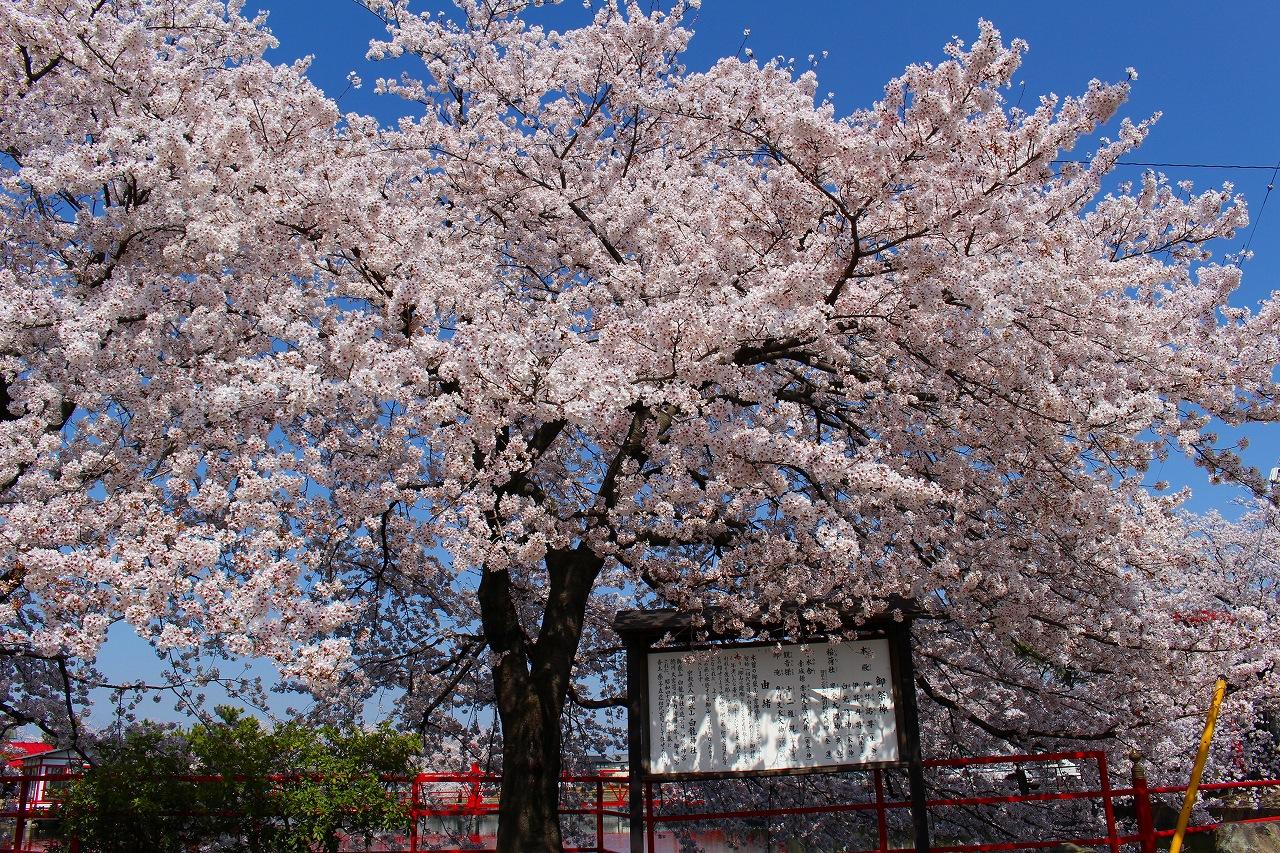 白龍神社 桜 (5)
