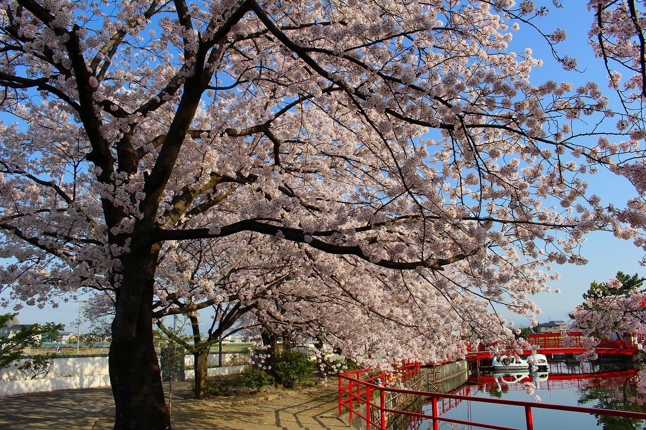 白龍神社 桜 (4)