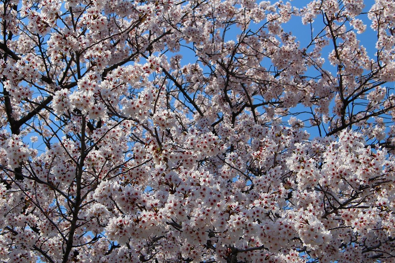 白龍神社 桜 (6)