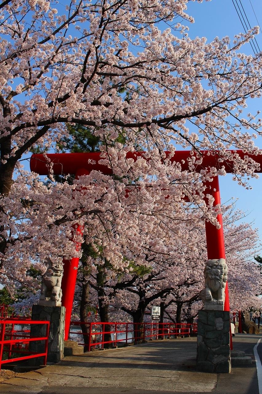 白龍神社 桜