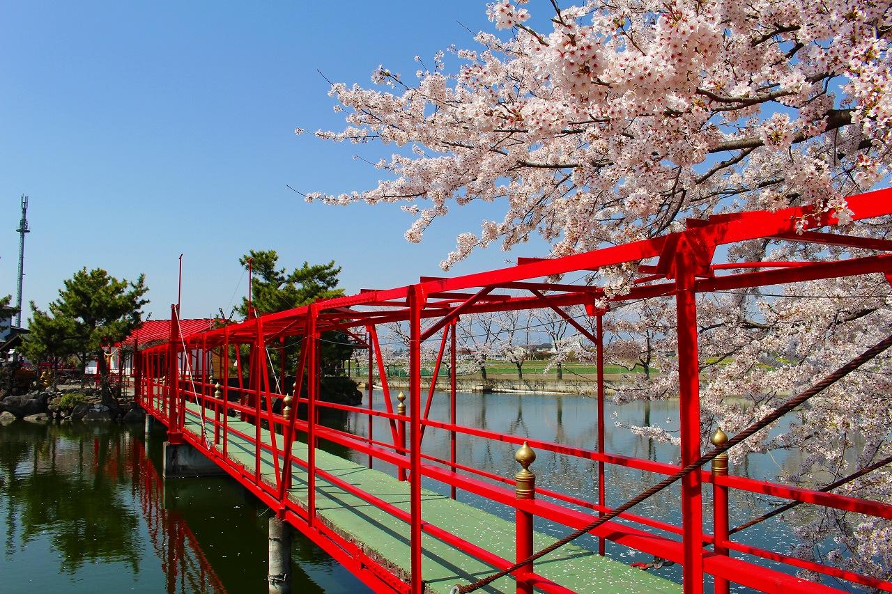 白龍神社 桜 (7)