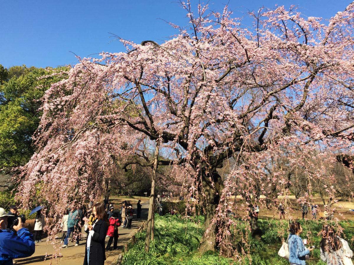 新宿御苑の枝垂れ桜、五分咲き