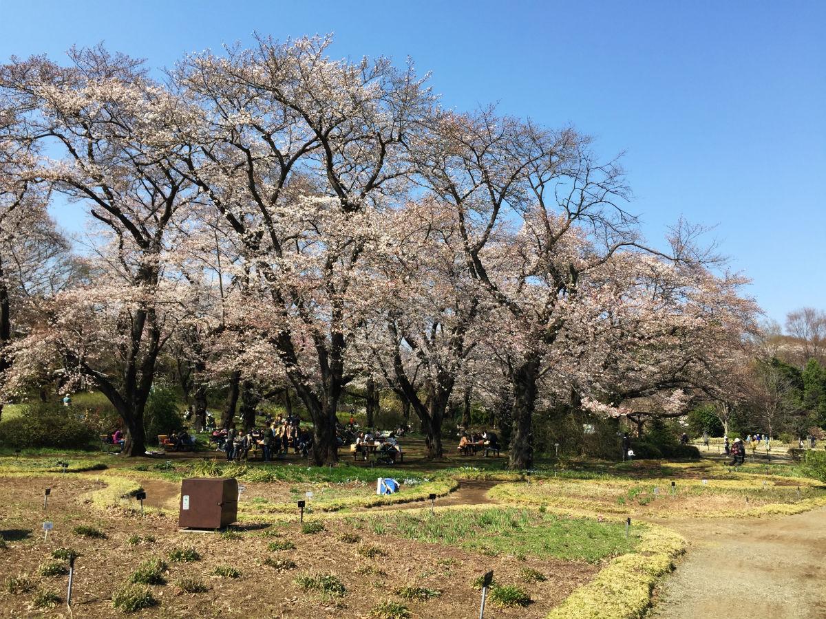 神代植物公園のソメイヨシノ