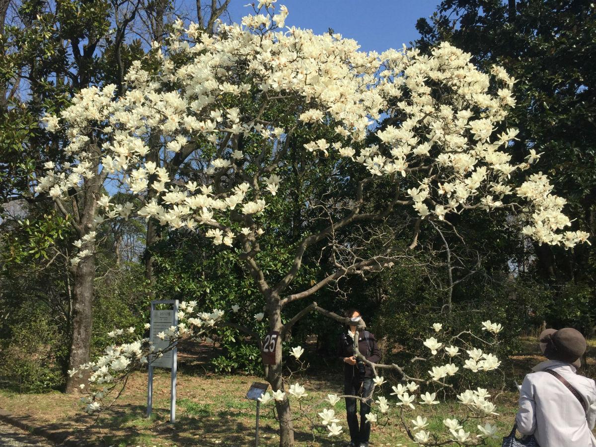 神代植物公園のハクモクレン