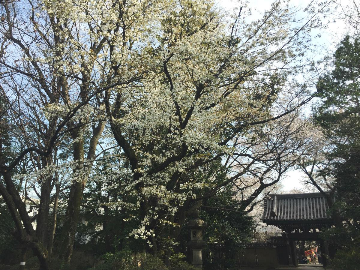 会社の近所の大島桜