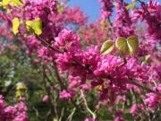 神代植物公園の花蘇芳