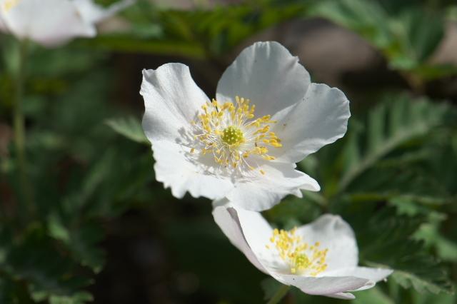 清楚な花を精一杯広げるイチリンソウ-04