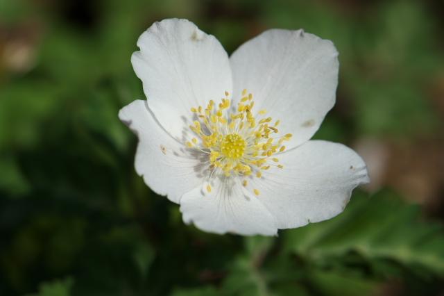 清楚な花を精一杯広げるイチリンソウ-05