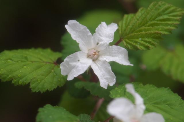 木イチゴの小花-02
