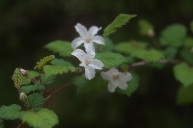 木イチゴの小花-01