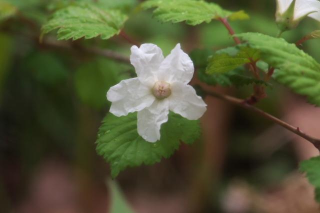 木イチゴの小花-03