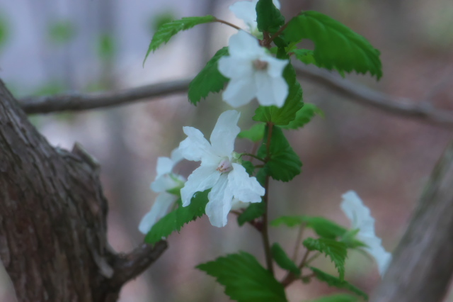 木イチゴの小花-04