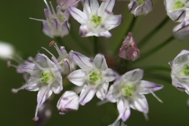 意外な美しさを魅せるノビルの花-04