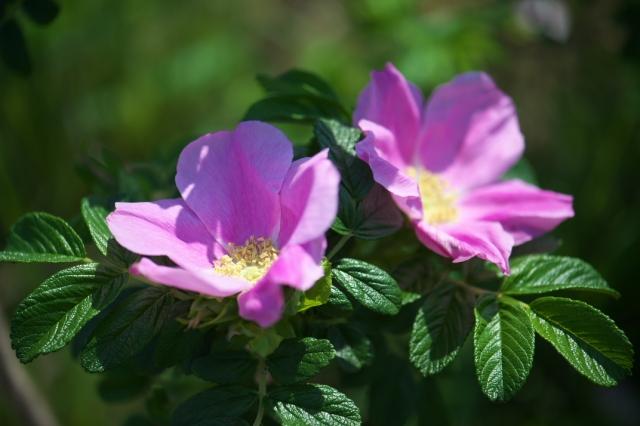 Rosa.rugosa の美しい姿。-01