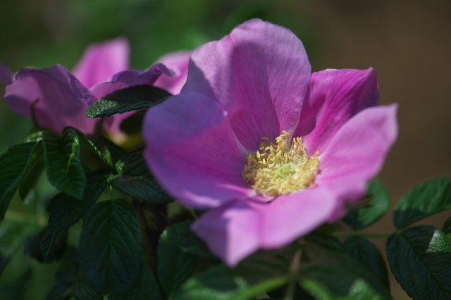 Rosa.rugosa の美しい姿。-05