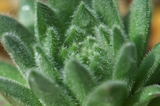Sempervivum-rococo-02