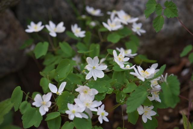 白花バイカカラマツの清楚な小花たち-02