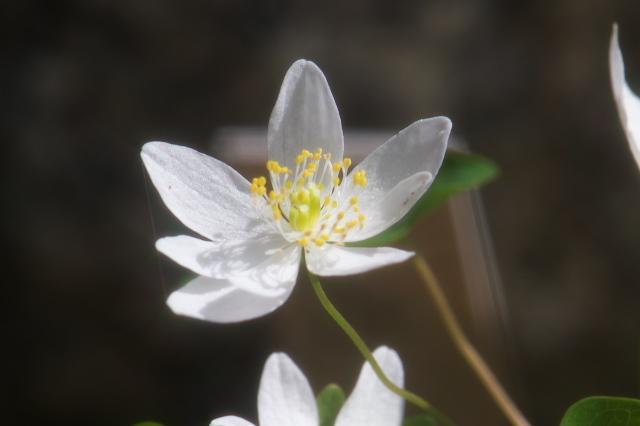 白花バイカカラマツの清楚小花