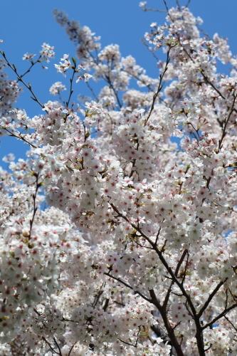 0331通勤桜