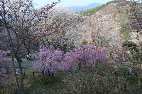 yoshinoyama-3-25