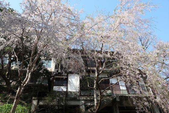 Yoshinoyama-sakura09