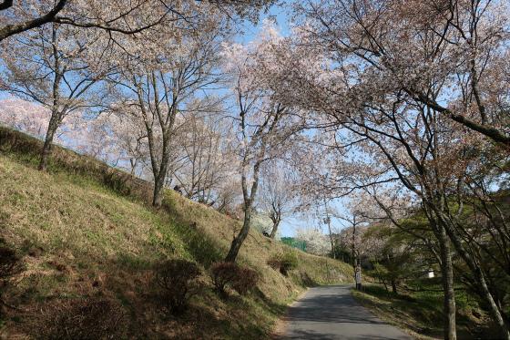 Yoshinoyama-sakura11