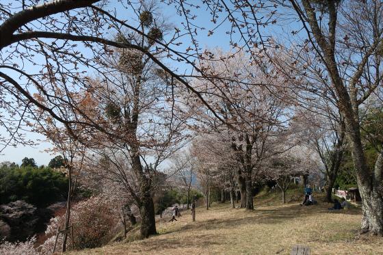 Yoshinoyama-sakura12